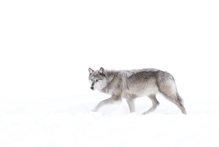 Silver coloured black wolf walking in the snow