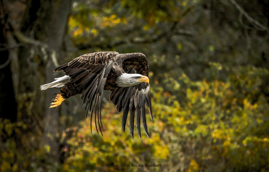 Eagle in the wood