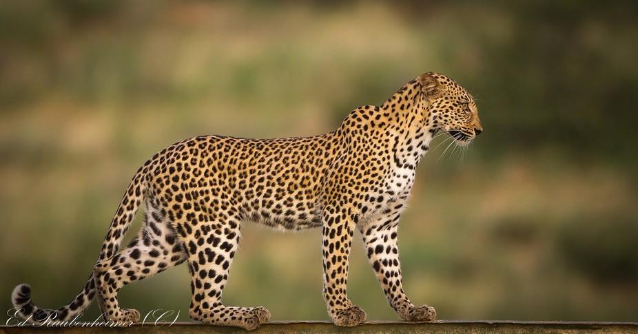 Leopard walking on a Fibre glass dam rim 50mm wide shot taken from +- 50 meters