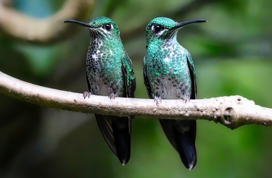 A pair of Green Crowned Hummingbirds