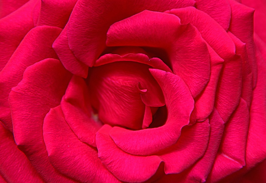 Dark pink Petals