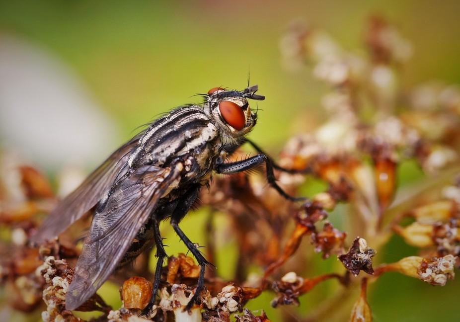 Fly - Macro