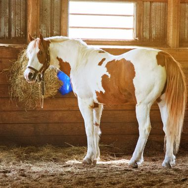 Pinto or Paint Horses