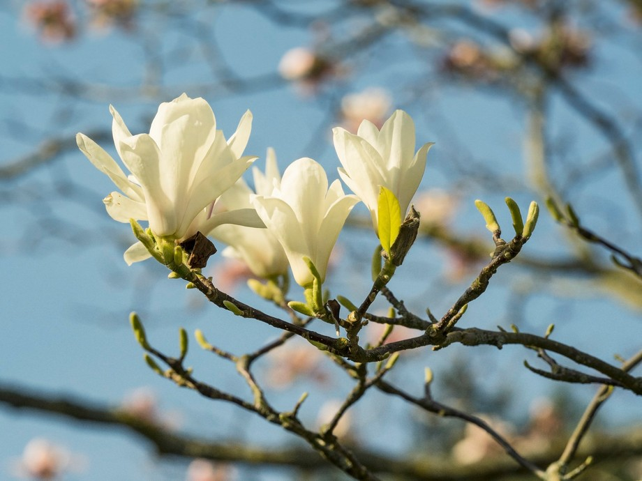 Magnolia Tree at Bodnant Gardens 27.3.2017, a beautiful Spring day