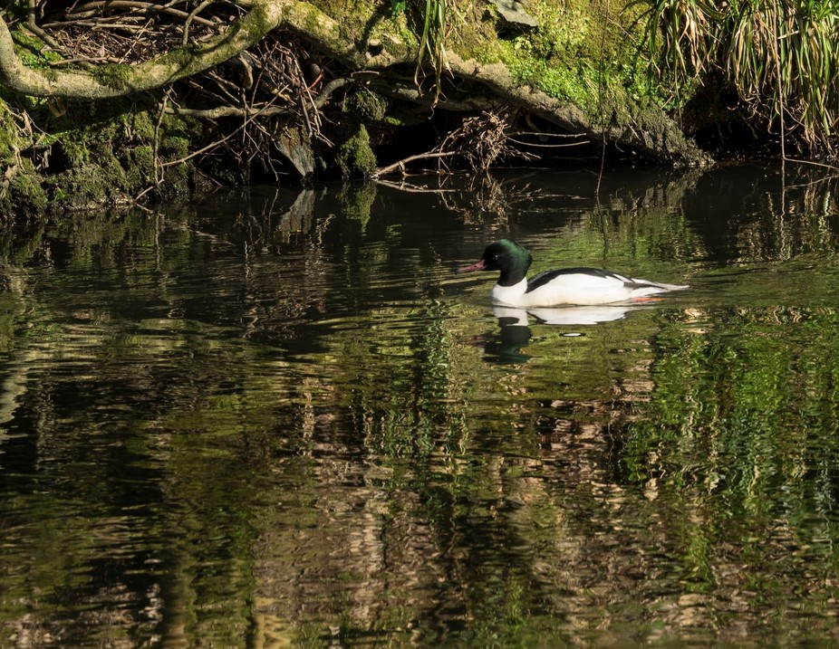 The Goosander is a magnificent large duck