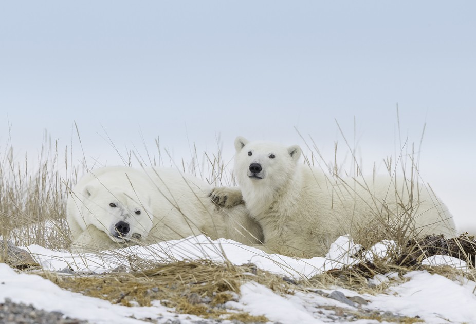 A mother and her cub in Hudson Bay, Canada
