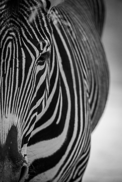 Half Zebra BW