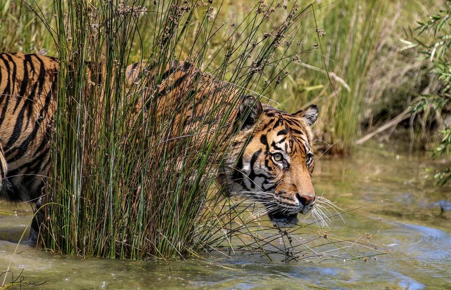Stalking tiger