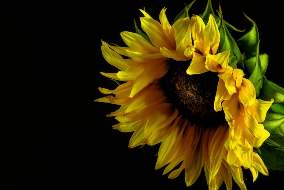I shot this sunflower in the dark for a dramatic effect, using a macro lens.