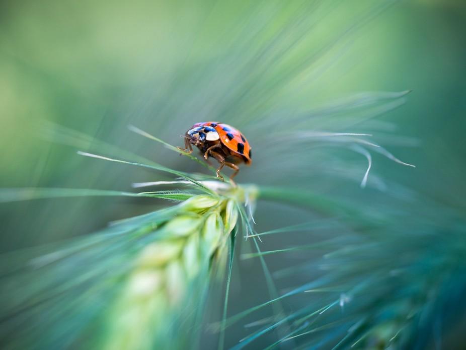 ** Ladybug **