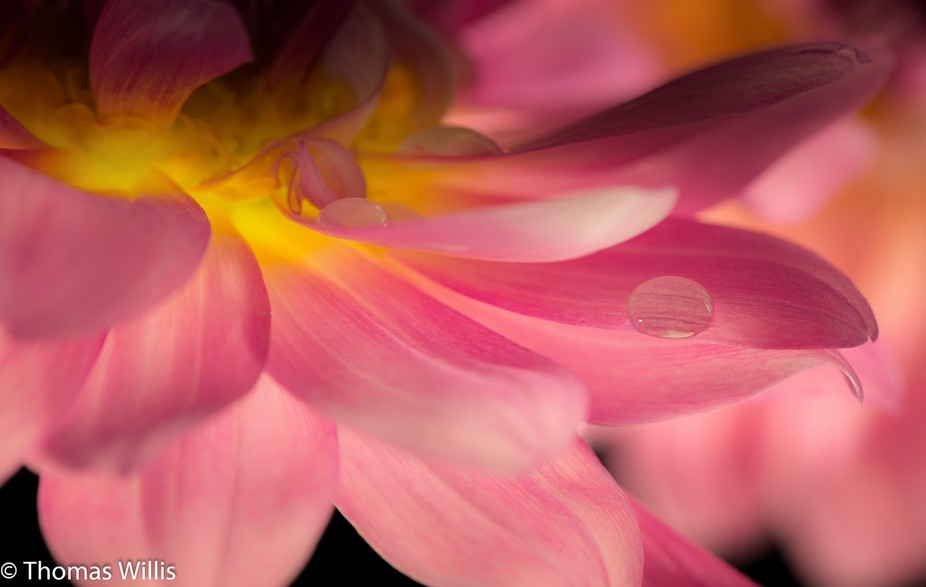 This dahlia was cut from the garden in the rain. The light was from below, creating the glow. It ...