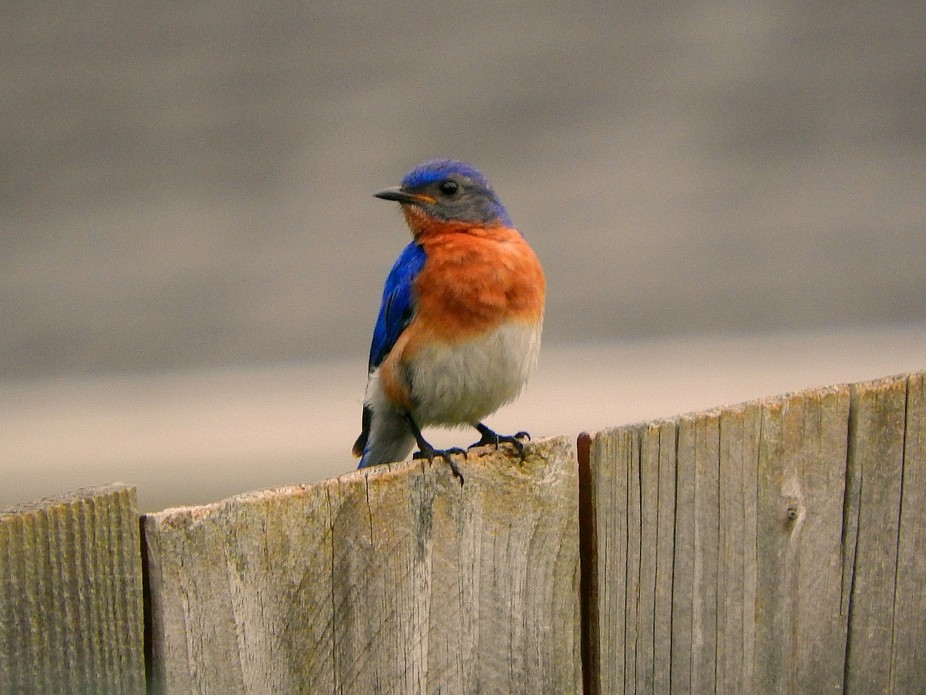 Happened to see this male Bluebird checking out a nest box near the garden