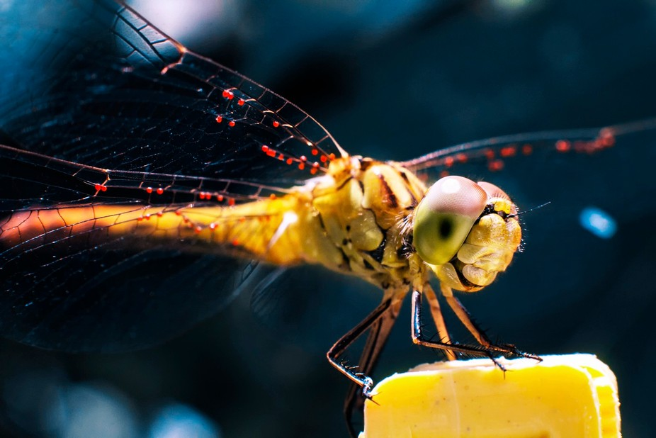 Yellow dragonfly sitting on the yellow pin after rain