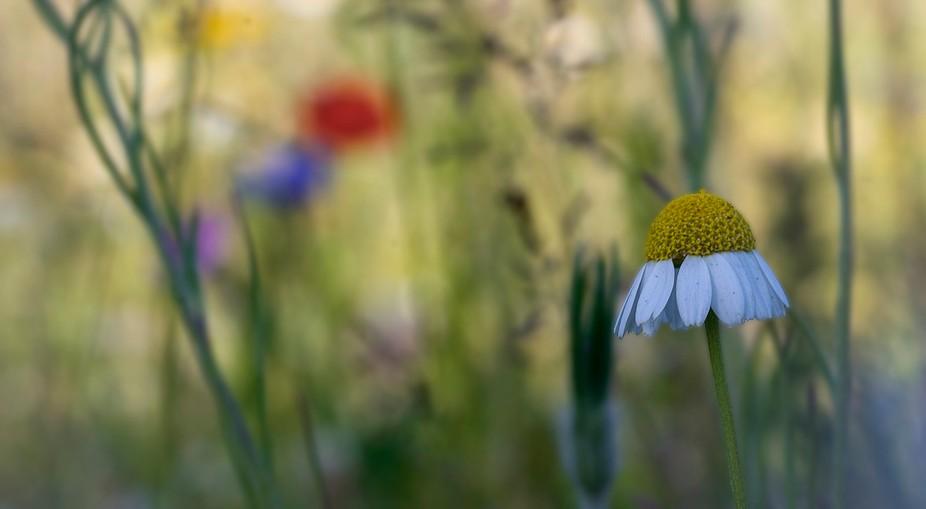 wildflower daisy