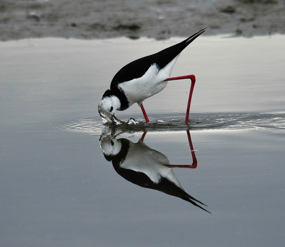 Pied Stilt Feeding