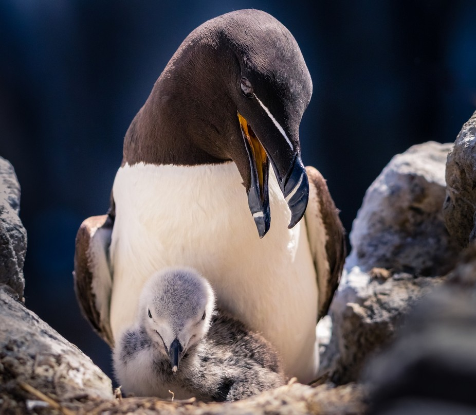Razorbill (Alca torda) is a colonial seabird that comes to land only to breed. It chooses one par...