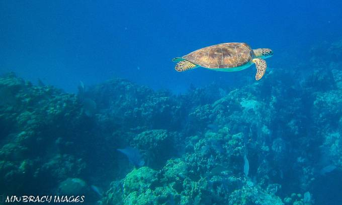 One of the many sea turtles one might see when diving the Carribean at Little Cayman