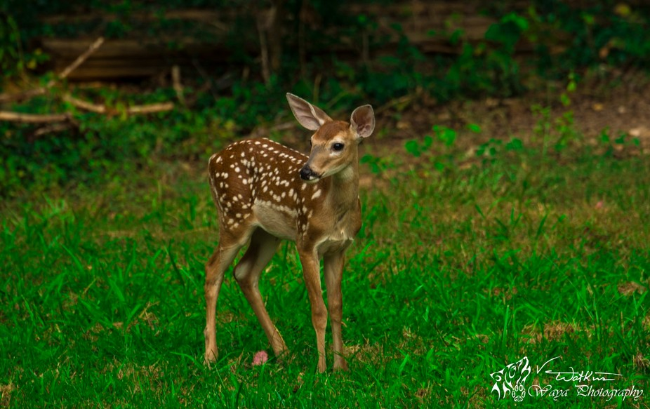 Momma and her twins visited again last night. This little one is trying to figure out what is mak...