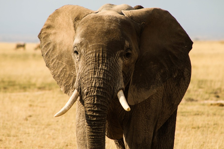 I took this shot at Amboseli Park in Kenya. I'm assumed it was of an adolescent female, ...