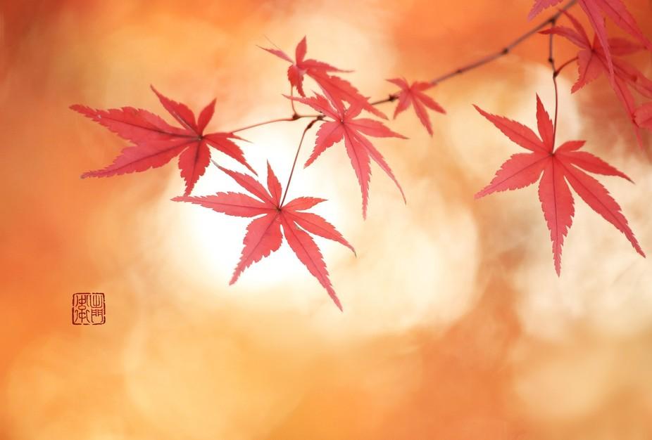 Japanese iroha maple leaves in evening sun.