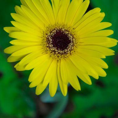 Gerber Daisy, Flower, Garden, Nature, Yellow
