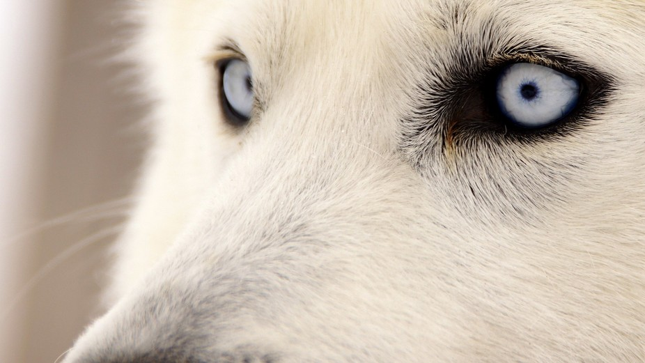 visiting a russian marsher I got to meet Opal one of the many huskies - one of the reasions I lov...