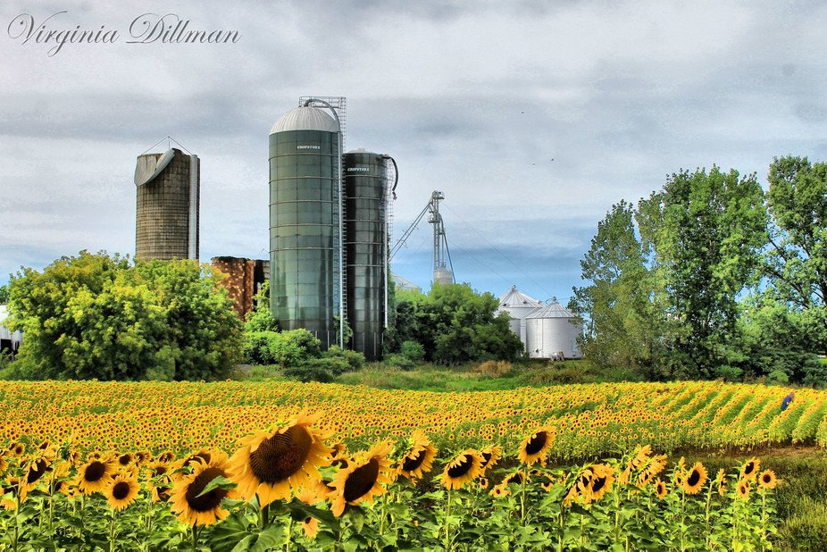 A field of Sunflowers, planted by local farmers in Sanborn, NY for the public to stop and enjoy