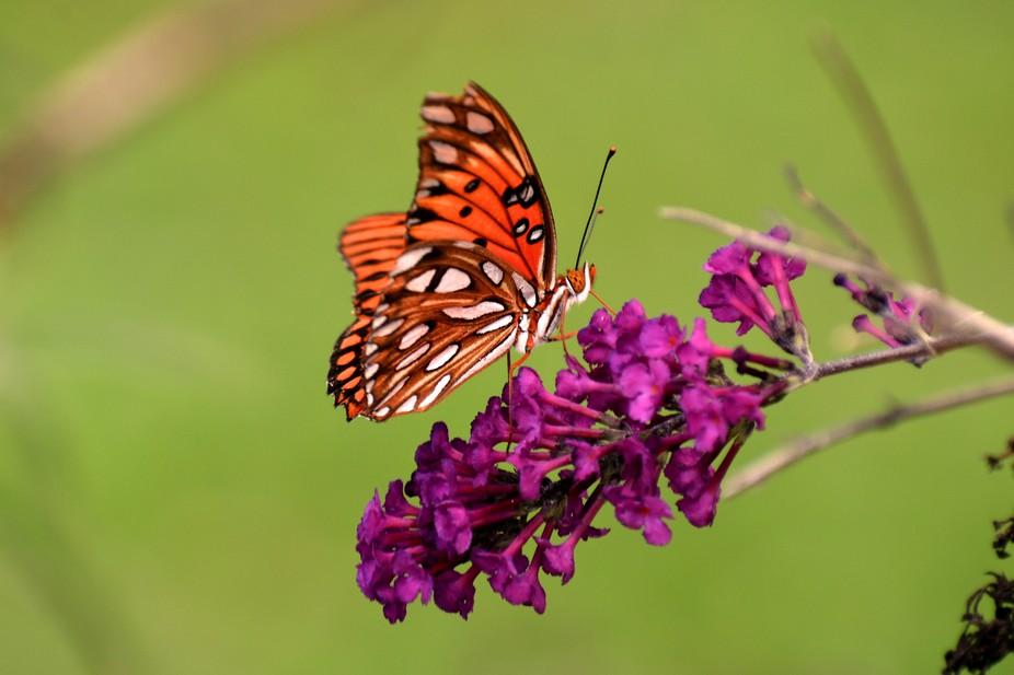 Fritillary on the Butterfly Bush