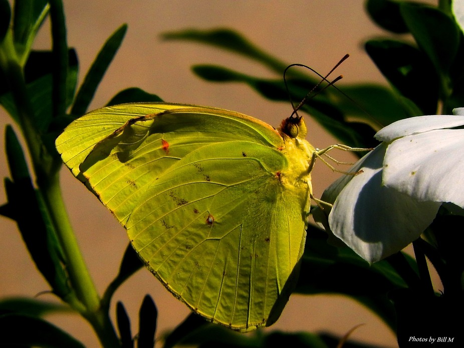 I enjoyed this shot because of the wing detail. Usually the Sulphur's don't sit still long enough for a shot
