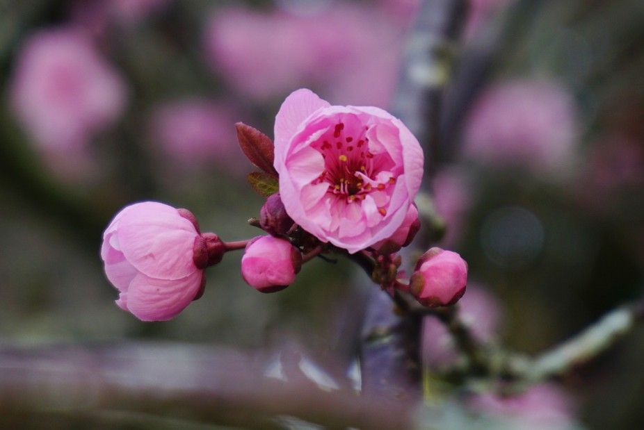 Winter in New Zealand is almost over, the Cherry Plum buds are getting ready to burst on the nake...
