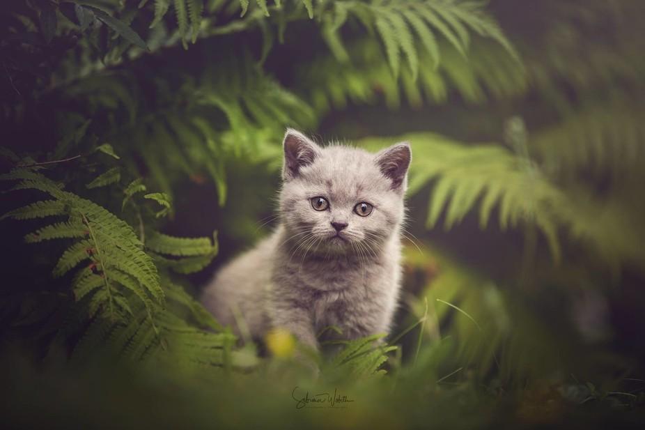 Little British Shortcut Kitten exploring the area