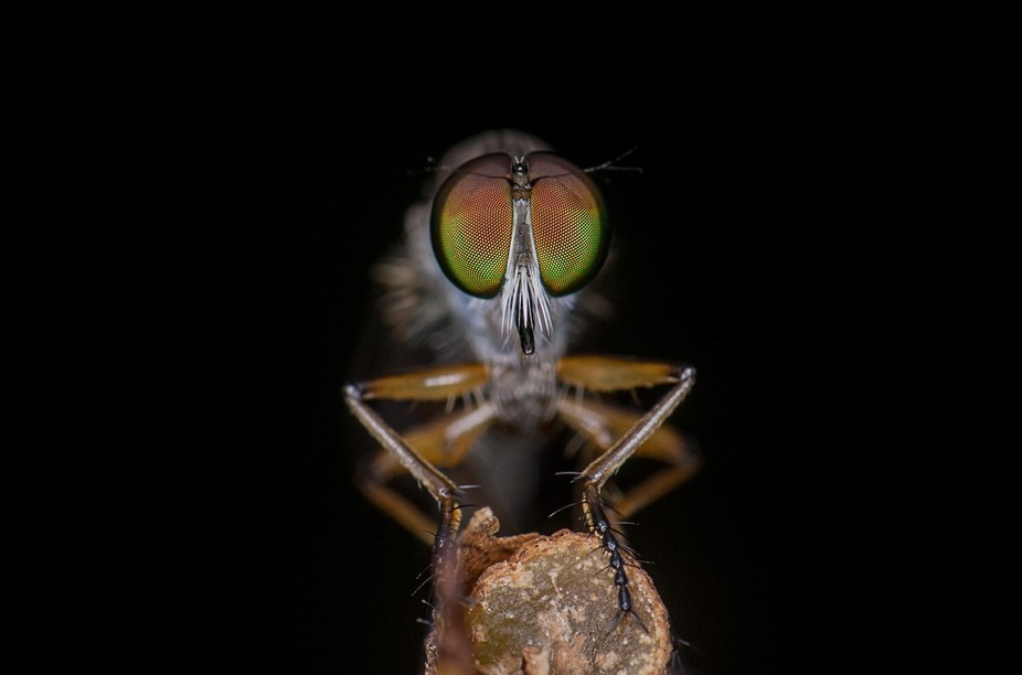 Robber fly eyes are very colorful and shooting them in natural space is very difficult as they fl...