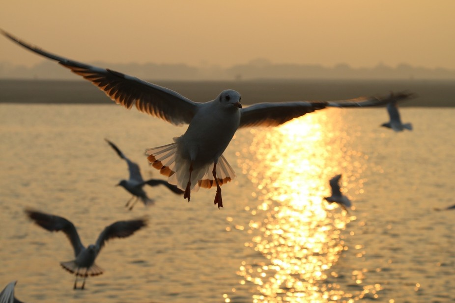 Birds flying over the ganges river looking for food at sunrise.