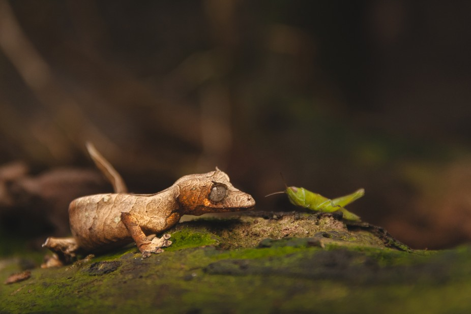 A leaf tailed Gecko and a grasshopper find each other in a forest in madagascar