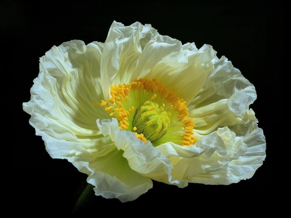 ... a poppy at midnight
