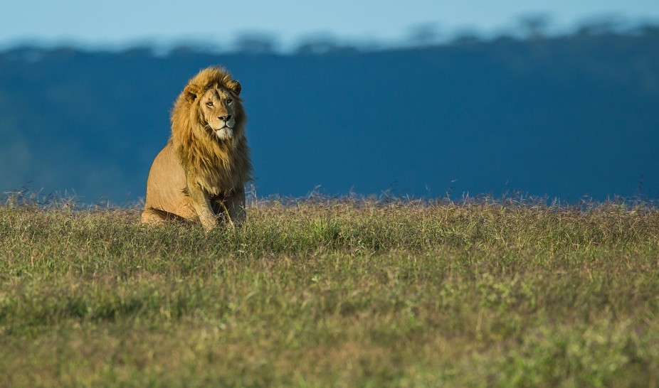 Taken early morning in the Ngorongoru crater in Tanzania. This male lion part of a pride of 12 ,s...