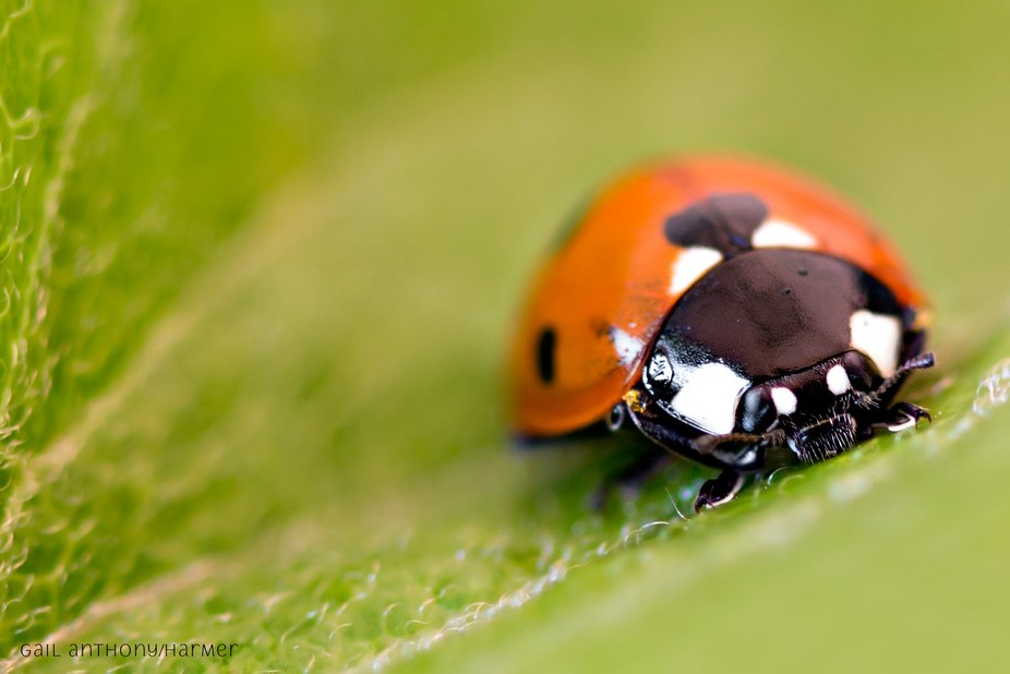 (Project 52- Week 41, Sunday, October 8th, 2017)  Just another Ladybird.......love taking images ...