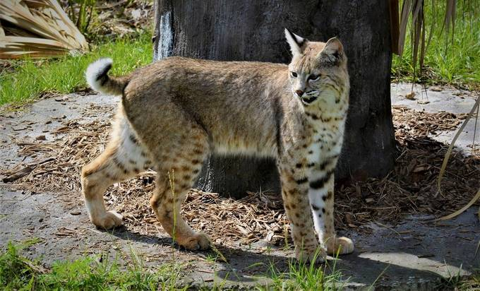 One of the two Bobcats they have at Zoo Miami. They will be playing around all day long or not, at times they do.
