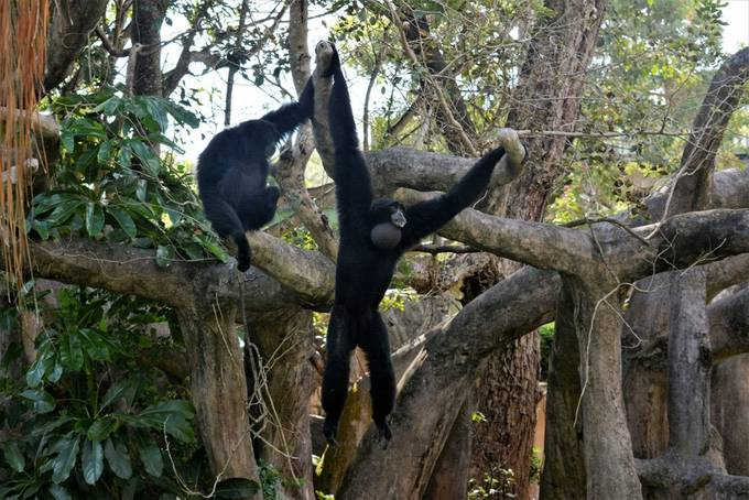 I found these Monkeys to be Interesting as they fill their sack, which is underneath their chin, to call or alert the others animals, the sound is loud and can be heard far away.