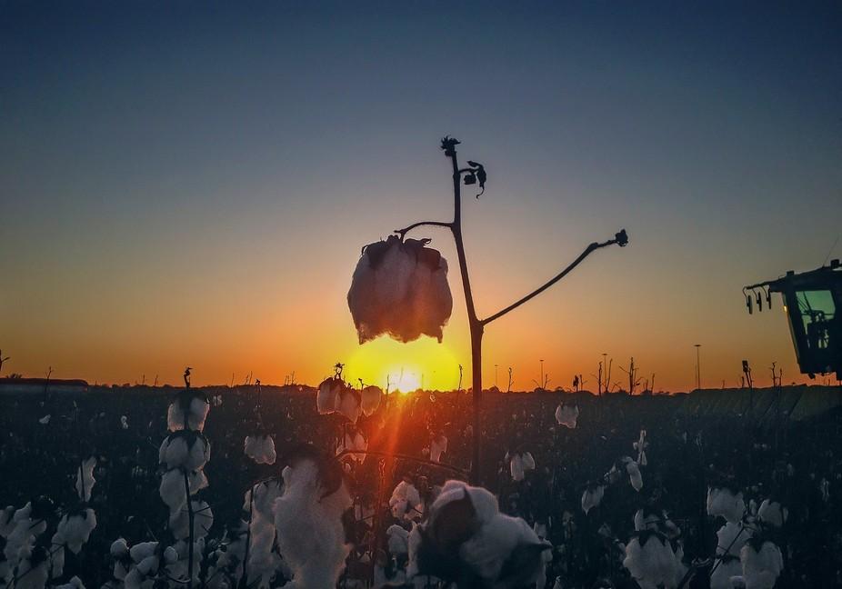 Sun Kissed Cotton