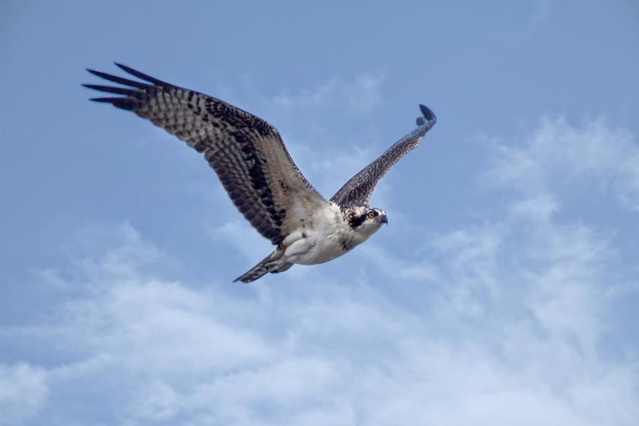 Osprey_7658