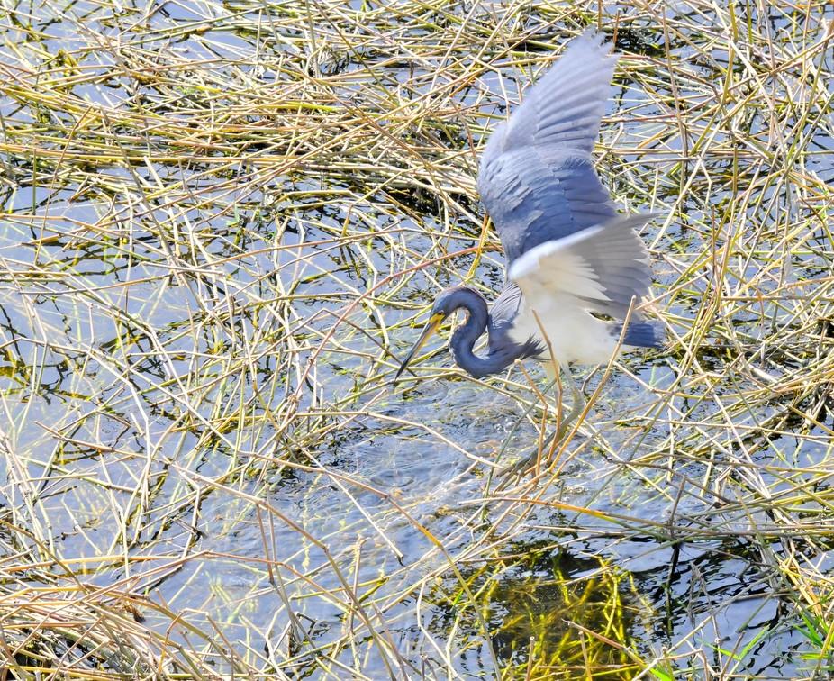 tricolour heron