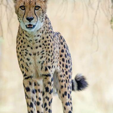cheetah full wm