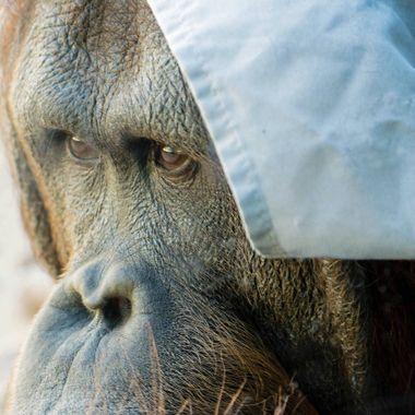 orangutan wm