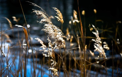 Lakeside reeds catch the afternoon light