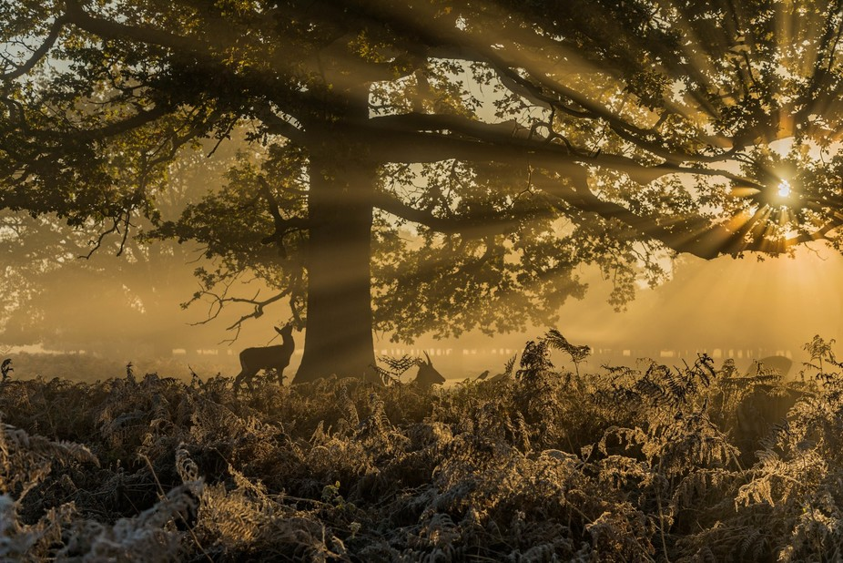 sun burst through the tree during misty autumn frosty morning as deer graze on the trees.