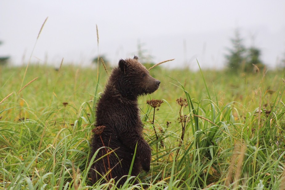 Brown bear cub in Alaska, in the rain