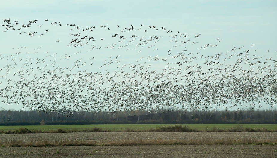 On a road trip to Quebec we passed these snow geese taking off. It's was a very cool sit...