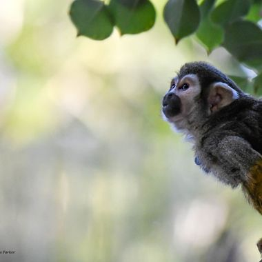 It was a cold day in Phoenix, poor little Squirrel Monkey was looking for the sun for warmth.