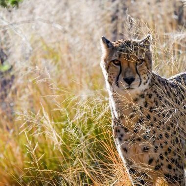Cheetah walking through the grass.